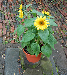 Flowerpot with sunflowers