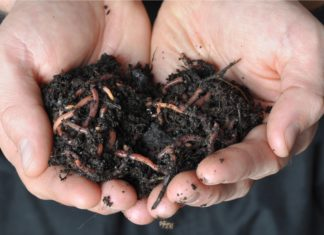 Group Of Earthworms In Hand Vermicomposting