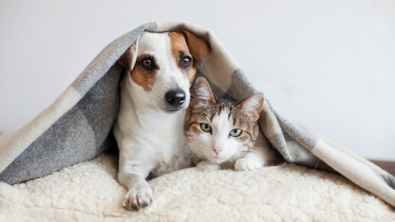 Pet Dog And Cat Under Blanket