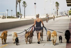 woman walking dogs business