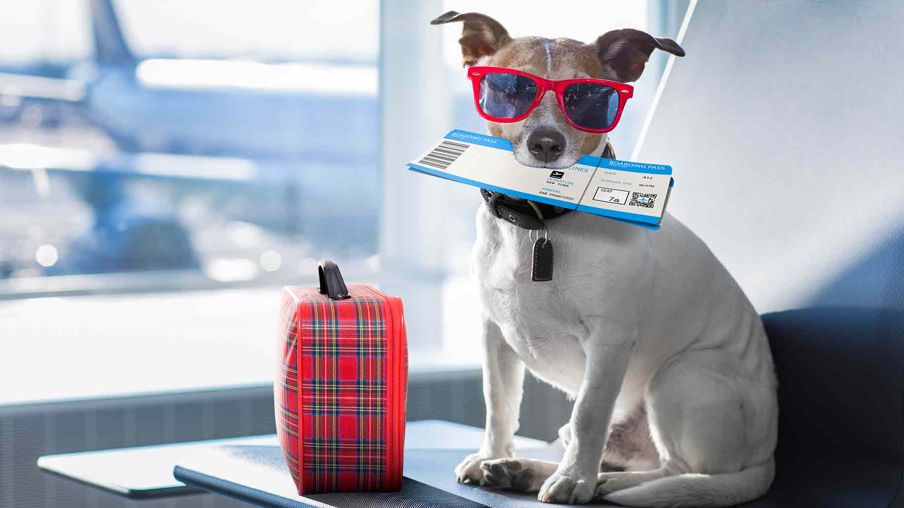 jack russel on a vacation