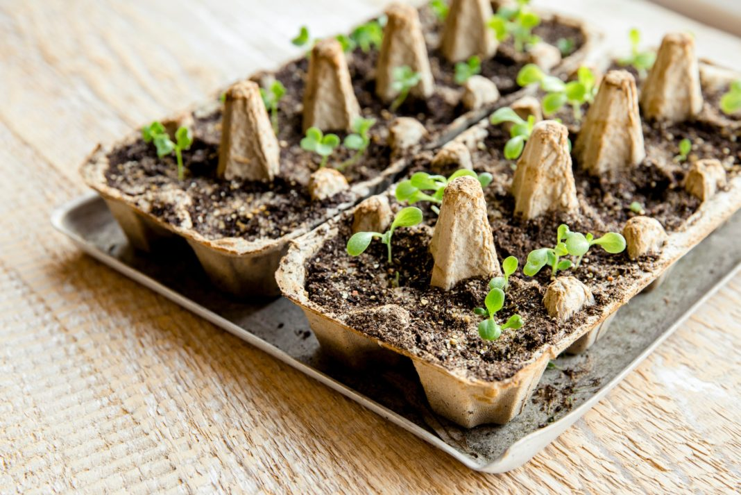 Growing Plants In Egg Carton Reuse