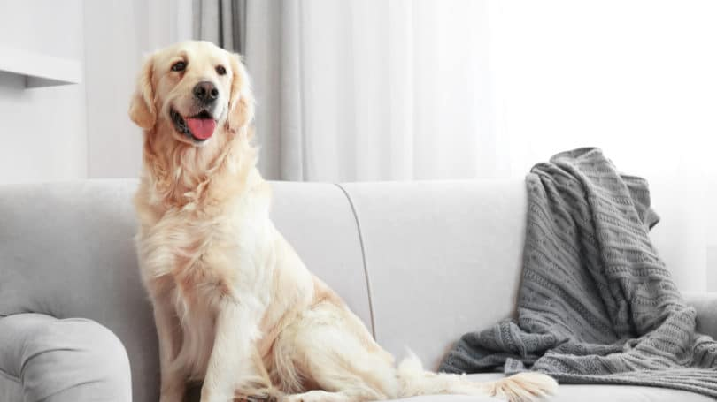 Pet Dog Sit Couch Golden Retriever