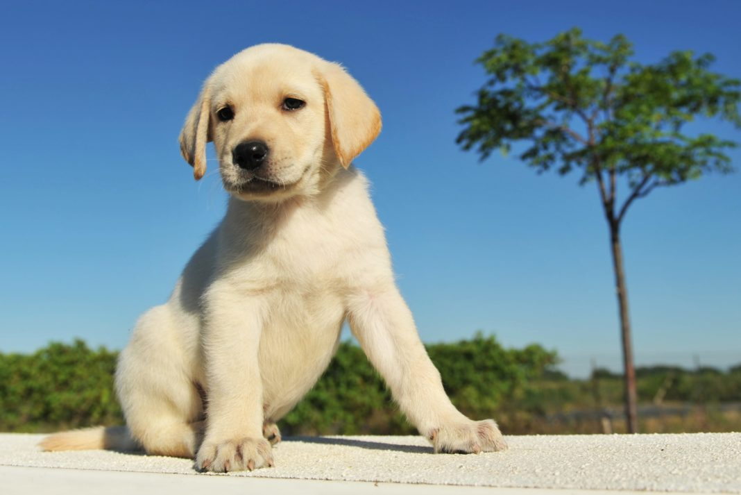 How Much Does Dog Cost Puppy