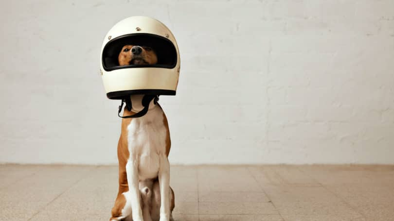 Dog With Helmet Canine Safety