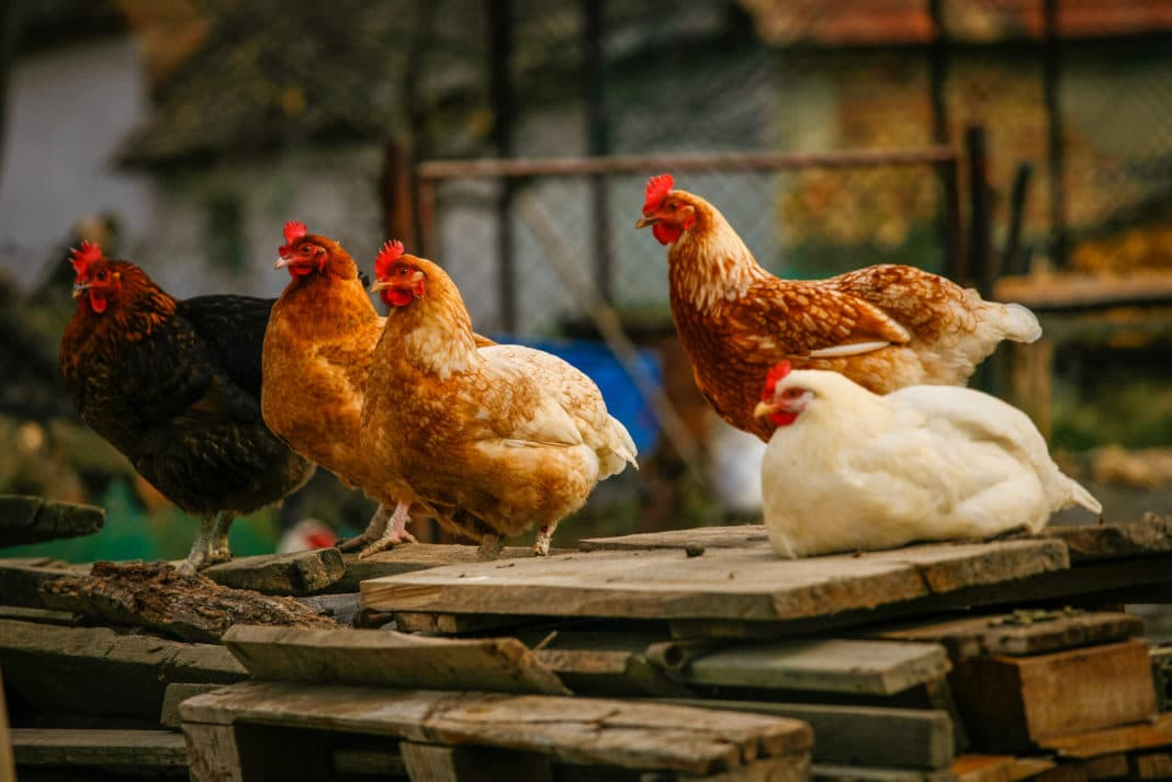 How to Raise Chickens at Home & Build a Chicken Coop - Ideas & Costs