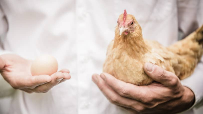 Raise Chickens Legally