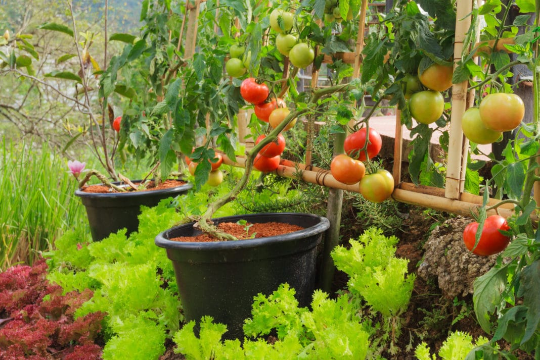Container Garden Tomatoes Pots Fresh Organic