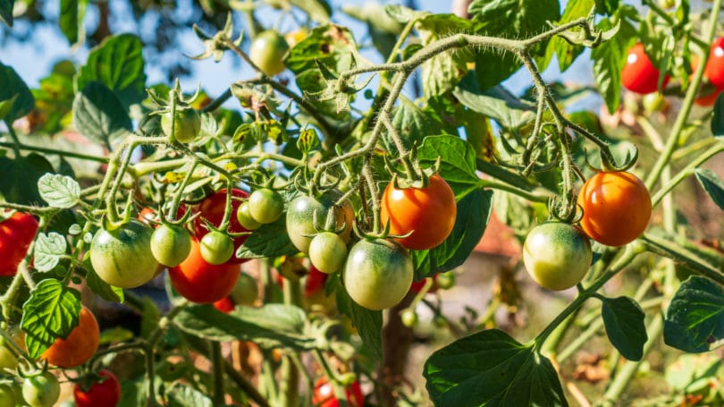Organic Red Green Cherry Tomatoes Growing On Vines Farm
