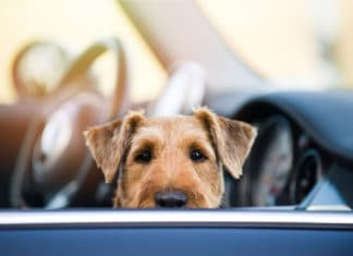 Dog In Car Looking Out Window Passenger Seat