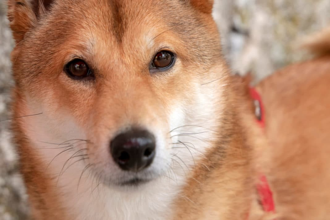 Portrait Of Cute Red Shiba Inu Dog Looking At Camera Face Close Up